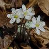 Tucked away today in Pawtuckaway-Round-lobed Hepatica (Anemone americana)... April 15, 2017.