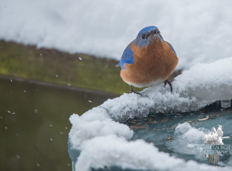 Mr. Bluebird stopped by for a drink before the storm... February 12, 2017.
