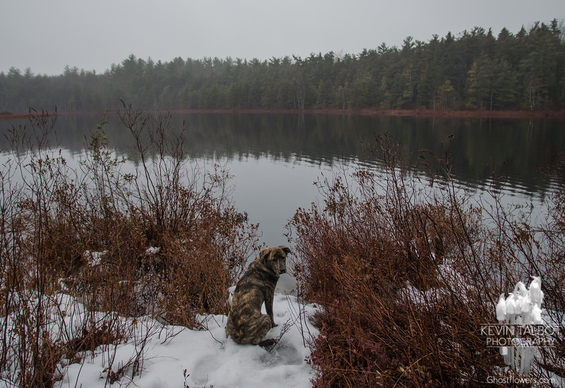 Cedar Swamp in the fog with Wicket-the ripples are all that's left of the beaver we were watching... March 27, 2017.