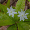 Today in Tucker and French Family Forest- Starflower (Trientalis borealis)... May 25, 2017.