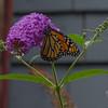 And today in our garden- Monarch (Danaus plexippus)... August 2, 2017.