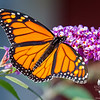 Today in the garden: Monarch (Danaus plexippus)... September 17, 2017.
