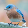 """My """"Better Side""""- Same bird, same perch, different day, different pose- Eastern Bluebird (Sialia sialis)... November 7, 2017."""