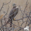 Hunting in the thicket by the marsh- Marsh Hawk (Circus cyaneus)... March 21, 2017.