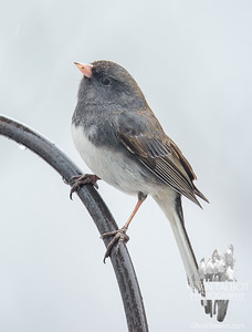Little Junco looks for a rainbow... March 25, 2017.