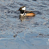 """Some Hooded Mergys were fishing under the last of the ice along the Powow shore today. Our second """"Ice out"""" again today may be """"Ice in"""" again by the end of the weekend... March 9, 2017."""