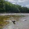 Swimming & fetching in the Pemigewasset River... August 9, 2017.
