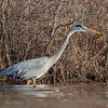 """""""Welcome back old buddy!""""-Today on the Powow Great Blue Heron (Ardea herodias)... April 12, 2017."""