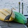 Dock Patrol this evening on the Powow- Great Blue Heron (Ardea herodias)... June 9, 2017.