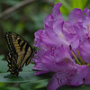 Sometimes Nature's beauty is right outside your front door-Eastern Tiger Swallowtail (Papilla glaucous) today on the Rhododendron (rhododendron)... June 13, 2017.