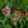 Still around today at Battis Farm- Monarch (Danaus plexippus)... October 20, 2017.