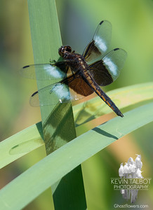 Today on a pond near you- Widow Skimmer (Libellula luctuosa)… July 16, 2018.
