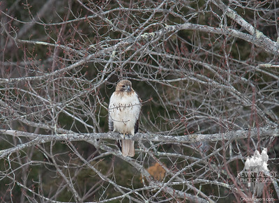 Red Tailed Hawk (Buteo jamaicensis) among the Red Maple buds-snow tonight... March 12, 2018.