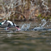 Shuffling off to Bufflehead- Bufflehead (Bucephala albeola)... April 11, 2018.