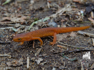 Out and about- Red Spotted Newt (Notophthalmus viridescens) today at Tucker and French Family Forest in Kingston... April 19, 2018.