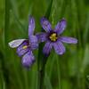 Today in the rain at Battis Farm- Blue-eyed Grass (Sisyrinchium montanum)... June 2, 2018.