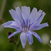 Today in a field near you- Chickory (Cichorium intybus)... June 23, 2018.