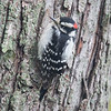 Sheltering on the leeward side of one of our maples- A very downy  Downy Woodpecker (Picoides pubescens)... October 1, 2018.