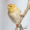Handsome Mr. G- American Goldfinch (Carduelis tristis)... February 23, 2018.