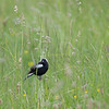 Today in the tall grass- Bobolink (Dolichonyx oryzivous)... June 5, 2018.