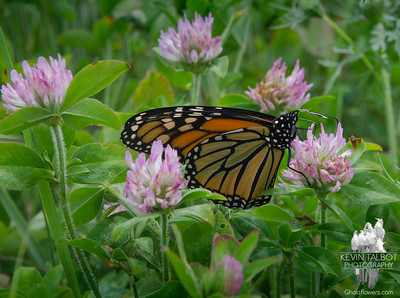 Today in a field near you- Monarch (Danaus plexippus) on Red Clover (Trifolium pretense)...  July 17, 2018.