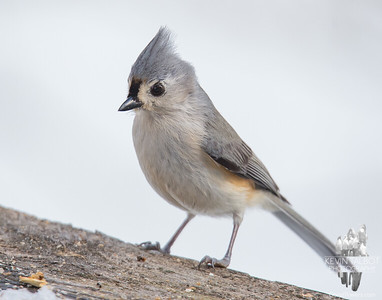 This young Titmouse dropped by today... March 15, 2018.