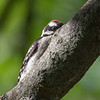 Playing Peek-a-boo with a baby Downy Woodpecker... June 12, 2018.