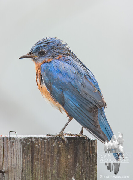 Even Mr. Bluebird is blue in today's rain... February 11, 2018.
