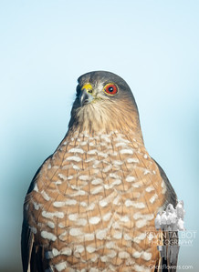 Dropped by this afternoon to get his passport photo- Sharp-shinned Hawk (Accipiter striatus)... December 10, 2018.