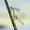 Making baby Dragoons- Northern Bluet (Enallagma cyathigerurm)... June 30, 2018.