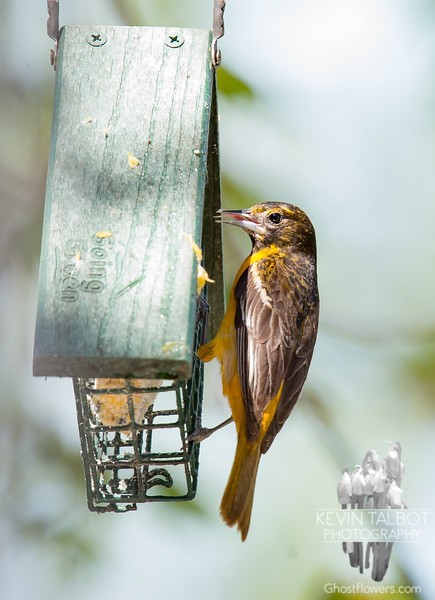 The beautiful, but secretive Mr.s Baltimore Oriole-not an attention seeker- Baltimore Oriole (Icterus galbula)... May 15, 2018.