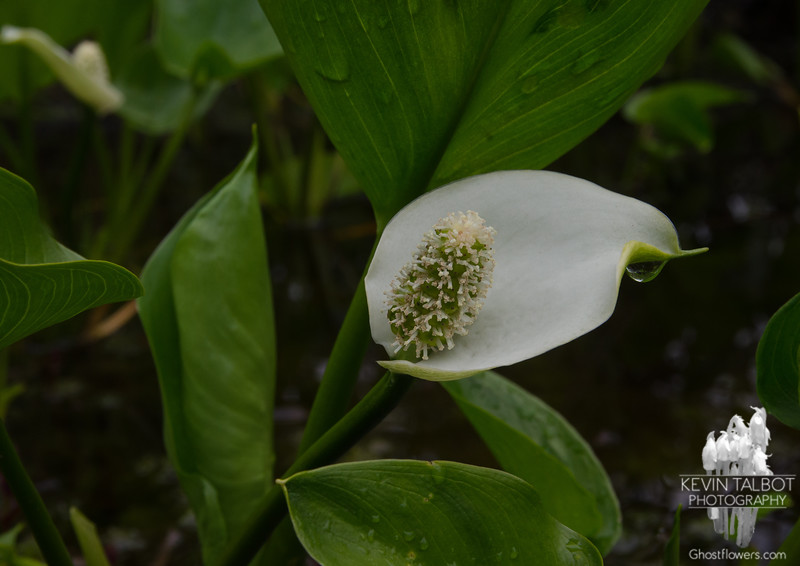 Was surprised and thankful to find hundreds of these Wild Calla Lily (Calla palustris) -Peace Flowers- less than a mile from home on this Memorial Day 2018... May 28, 2018.