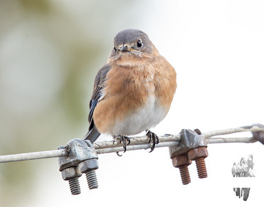 My Blessed Bluebirds returned briefly today... December 6, 2018.