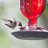 Cool drink on a hot day- Ruby-throated Hummingbird (Archilochus colubris)... June 16, 2018.