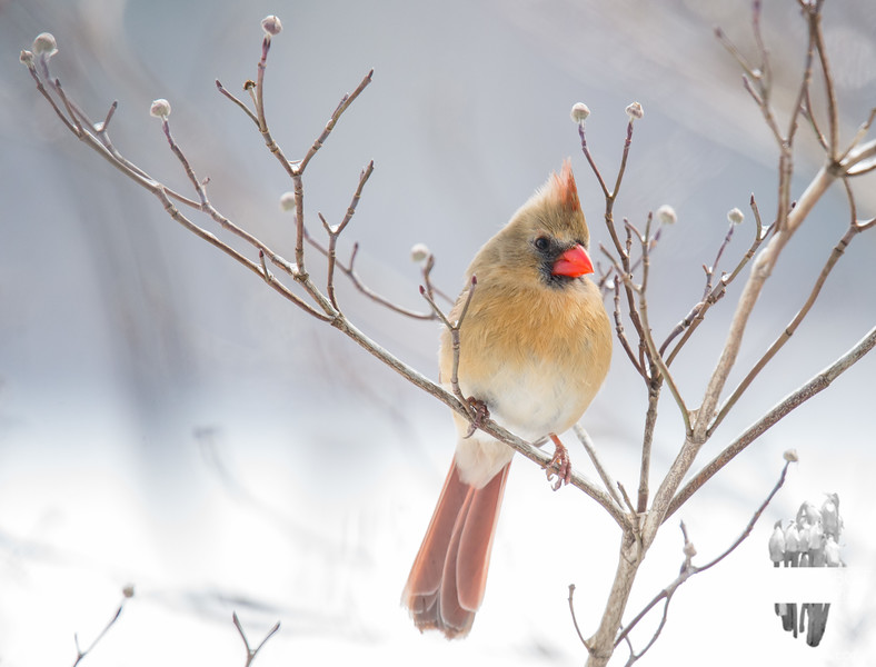 Mrs. Cardinal again, because she's great... February 9, 2018.