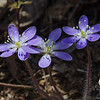Round-lobed Hepatica (Anemone americana)-The first of New England's Native Ephemerals-these delicate dime-sized flowers will live out their short lives before the trees leaf out and block the sun from reaching them on the forest floor. They are quite late this year to peak-they started out great, but spring decided to go on hold for a few weeks... April 24, 2018.