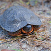 Wow-wasn't expecting to rescue YOU from the road today!  Wood Turtle (Glyptemys insculpta)... September 29, 2018.