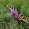 For a limited time only! Still, in a field near you-  Eastern Tiger Swallowtail (Papilla glaucous) on Bull Thistle (Cirsium vulgare)... July 23, 2018.