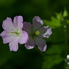 Wild Geranium (Geranium maculatum) today at Battis Farm... May 11, 2018.