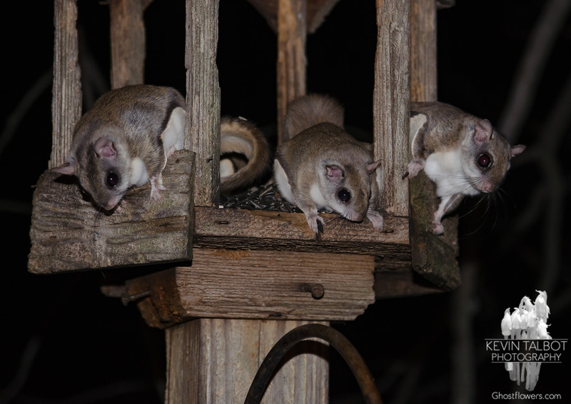 Things that go bump in the night- Northern Flying Squirrel (Glaucomys sabrinus)... February 1, 2018.