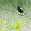 Bird on a wire-today at Woodsom Farm- Bobolink (Dolichonyx oryzivous)... June 14, 2018.