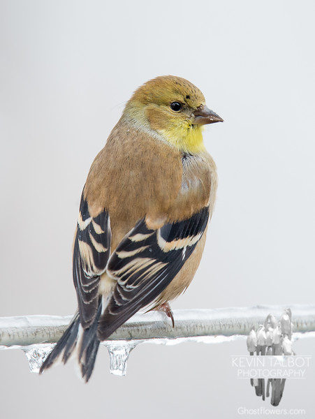 Mr. Goldfinch on an ice-coated wire... January 23, 2018.