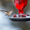 Ms. Ruby- Ruby-throated Hummingbird (Archilochus colubris)... May 5, 2018.