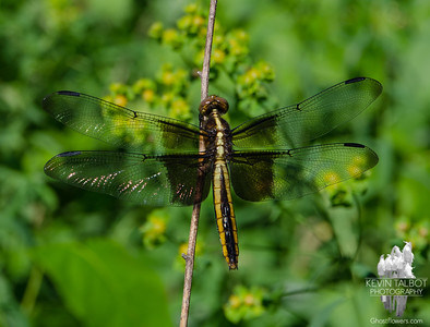 Dragonfly Season- Today at Battis Farm- Widow Skimmer (Libellula luctuosa)... June 19, 2018.