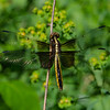 Dragonfly Season- Today at Battis Farm- Widow Skimmer (Libellula luctuosa)... June 19, 2018.