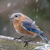 A somewhat incredulous Mrs. Bluebird... April 6, 2018.