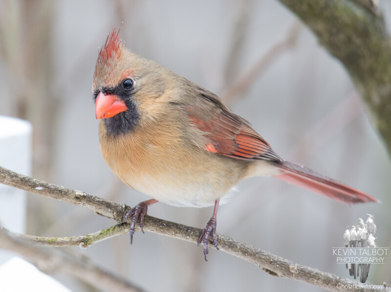 Mrs. Cardinal isn't letting the freezing mist ruffle her feathers... January 22, 2018.
