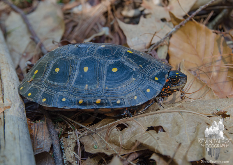 """Just a reminder for everyone to please be careful out there as there are turtles and other innocent lives that may need to cross our roads this Spring. I """"spotted"""" this Spotted Turtle (Clemmys guttata) today (thankfully far from any roads!) According to NH F&Gs website this species'-NH Conservation Status: State Threatened, Wildlife Action Plan Species in Greatest Need of Conservation. Legally protected in New Hampshire: possession, sale, import, and take (harm, harass, injuring, killing) is illegal.<br />  <br /> State Rank Status: Imperiled (S2)<br />  <br /> Distribution: Southeastern NH.<br /> <br /> For more info: <a href=""""http://www.wildlife.state.nh.us/wildlife/profiles/spotted-turtle.html"""">http://www.wildlife.state.nh.us/wildlife/profiles/spotted-turtle.html</a><br /> <br /> April 23, 2018."""