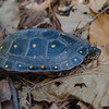 "Just a reminder for everyone to please be careful out there as there are turtles and other innocent lives that may need to cross our roads this Spring. I ""spotted"" this Spotted Turtle (Clemmys guttata) today (thankfully far from any roads!) According to NH F&Gs website this species'-NH Conservation Status: State Threatened, Wildlife Action Plan Species in Greatest Need of Conservation. Legally protected in New Hampshire: possession, sale, import, and take (harm, harass, injuring, killing) is illegal.<br />  <br /> State Rank Status: Imperiled (S2)<br />  <br /> Distribution: Southeastern NH.<br /> <br /> For more info: <a href=""http://www.wildlife.state.nh.us/wildlife/profiles/spotted-turtle.html"">http://www.wildlife.state.nh.us/wildlife/profiles/spotted-turtle.html</a><br /> <br /> April 23, 2018."