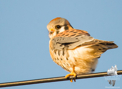 """Sparrow Hawk"" American Kestrel (Falco sparverius) Smallest of New England's Falcons... December 4, 2018."